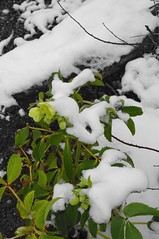 Bushy Park Jan 2013 (Bruce Townsend) Tags: park winter snow hellebore bushy