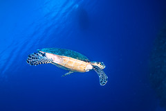Turtle swimming for the bottom (b.campbell65) Tags: ocean travel blue sea vacation fish tourism beach sports nature water swim landscape mexico outdoors island coast marine underwater extreme scenic bubbles scuba diving tropical scubadiving coastline caribbean diver cozumel caymanislands undersea pursuit attraction grandcayman recreational seawater quintannaroo marnepark
