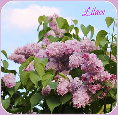 Lilac Perfume (bigbrowneyez) Tags: flowers sky tree nature beautiful clouds petals pretty dof gorgeous blossoms natura lilac fragrant colourful lovely fiori scented bellissimi perfumed rememberthatmomentlevel1