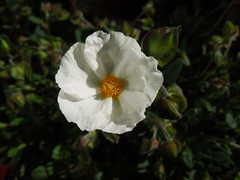 Cistus or Sun Rose (Sunchild57) Tags: cistus sunrose ourgarden2013