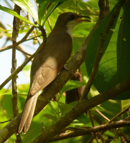 Yellow-billed Cuckoo, a boreal migrant
