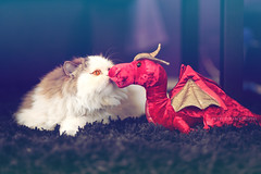 Oona (Petit Photography) Tags: pet cute animal cat photography dragon kitty gato drago petitphotography