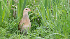 Corncrake (Crex crex) (KHR Images) Tags: wild bird nature scotland nikon innerhebrides wildlife iona secretive rarespecies corncrake crexcrex landrail d7100 kevinrobson khrimages