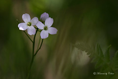 Cuckoo-flower / Lady's Smock.  Cardamine pratensis (Canon Queen Rocks) Tags: flowers plants white nature petals stem mauve wildflower mothernature ladyssmock cuckooflower