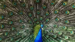 #TheBirds (MarieCrawford) Tags: bird peacock thebirds