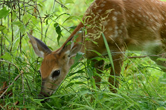 DSC_1665a (Fransois) Tags: fawn qubec chateauguay faon youngdeer lestbernard jeunechevreuil