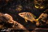 Yellow-Tailed-Fish-from-Intracoastal-Waterway (Captain Kimo) Tags: fish canon underwater florida powershot lane snapper waterway s90 yellowtail intracoastal tonemapped photomatixpro singleexposurehdr