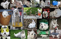 """""""My life with Riley, so far"""" (ellenc995) Tags: friends collage riley westie westhighlandwhiteterrier coth supershot akob abigfave citrit pet500 pet100 pet1000 pet2000 pet1500 platinumheartaward thesuperbmasterpiece naturallymagnificent 100commentgroup challengeclub coth5 naturallywonderful thesunshinegroup sunrays5 challengeclubchampion iloveriley"""