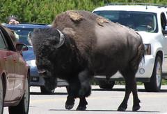 demonstrating proper bison photography technique (rovingmagpie) Tags: yellowstonenationalpark yellowstone wyoming bison animatronic trafficjam photgrapher 44qn weowntheroad