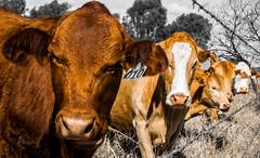 DSC_4057 (Joel Spooner Photography) Tags: cow cowboy cattle australia backpacking queensland outback traveling jackaroo outbackaustralia cattlestation cattlework