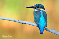Kingfisher (BFAsuper) Tags: bird nature birds animal animals nikon martin natura 300mm uccelli kingfisher nikkor f4 animali animale afs pescatore uccello d7100