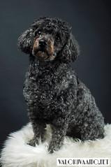 Luna The Dog (Valokuvaamo.net) Tags: dog pet pets black cute dogs animal animals 35mm studio nikon flash blackdog poodle doggy petphotography elinchrom d90 petsinstudio