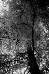 Angry Tree (Canon Canonet QL17 G-III, Ilford HP5) (baumbaTz) Tags: trees blackandwhite bw tree monochrome face leaves analog forest canon germany deutschland blackwhite august ishootfilm ilfordhp5 epson sw hp5 analogue monochrom grayscale g3 rodinal expired schwarzweiss leafs wald bäume canonet ilford ql17 giii analogphotography baum ent stade treeface greyscale 1100 expiredfilm niedersachsen lowersaxony filmphotography oldfilm fpp canoncanonetql17giii harsefeld ilovefilm v500 semistand adox adonal canoncanonetql17 filmisnotdead 2013 semistanddevelopment analoguephotography istillshootfilm filmforever epsonv500 adoxadonal filmphotographyproject 20130806
