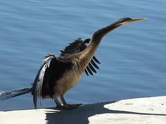 Darter  on Swan Shore Perth (Robin Hutton) Tags: bird water river swan wings perth cormorant robinhuttonart