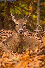 102513LC-IMG0459FLR (JPeg Image Photography) Tags: travel nature grass outdoors leaf bush outdoor pennsylvania wildlife doe deer pa greenery bushes eaststroudsburg