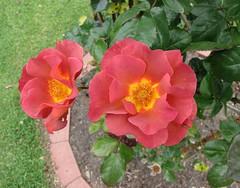豐花玫瑰  Rosa Edith Holden  [墨爾本  Werribee Rose Garden, Melbourne] (阿橋花譜 KHQ Flower Guide) Tags: rosa rosaceae 薔薇科