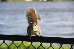 I 2 I (LarryJay99 ) Tags: animals chainlink stockcategories squirrels animal colors parks greenery squirrel fence green fences florida johnprincepark mammals canonefs18135mmf3556is ilobsterit