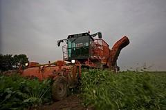 Holmer (Fotos aus OWL) Tags: landwirtschaft ernte zuckerrüben holmer rüben