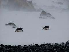 Scooting is quicker (ericy202) Tags: brown penguins gentoo december 2006 blizzard bluff conditions wildpenguin