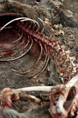 Bare Bones III (zoe.hedquist) Tags: winter bw snow eye nature beautiful beauty animal animals canon fur dead skeleton death 50mm blood hole skin head jaw teeth ground doe gross ribs bones bone spine corpse f18 buck vertebrae boney vertebrates hipbone