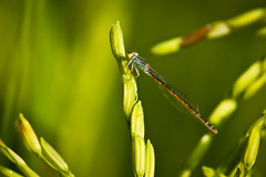 (Karthikeyan.chinna) Tags: travel india macro green eye nature closeup canon insect rice dragonfly south grains tamilnadu kanchipuram karthikeyan cwc 1100d chennaiweekendclickers chinnathamby