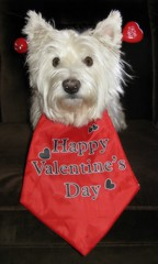 """2/12A ~ Riley says """"Happy Valentine's Day!"""" (ellenc995) Tags: riley westie westhighlandwhiteterrier 12monthsfordogs14 valentinesday february14 red thesunshinegroup supershot coth rubyphotographer sunrays5 challengeclub yearofholidays pet100 naturallywonderful coth5 citrit akob thegalaxy alittlebeauty 100commentgroup"""