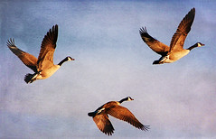 ~Fly Away~ (Keefer G.) Tags: nature animal geese spring defindersofwildlife