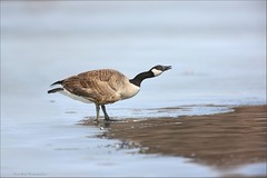 Canadian Goose (Daniel Behm Photography) Tags: park winter ohio ice goose chillicothe canadagoose danielbehm yocotangeepark