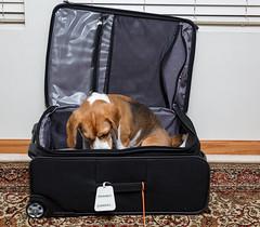 Traveling Brody (Don Burkett) Tags: dog pet beagle hound canine companion brody doginasuticase beagleinasuitcase