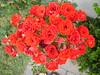 DSC01605 (Fausto Odilon) Tags: flores rosa minirosa
