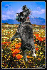Alberta Cockapoo (Jack Winter) Tags: florida location dunedin dogpark pinellascounty happytails