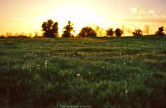 First day of Spring.. (dj murdok photos) Tags: sunset field losangeles spring warm sunny dandelion fullframe sanfernandovalley springtime mirrorless djmurdokphotos sonya7 ilce7