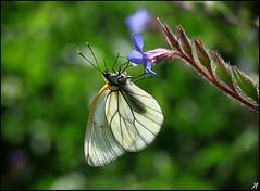 Έχω μια απορία... (Xenofon Levadiotis) Tags: sky cloud flower macro butterfly insect papillon borboleta mariposa farfalla blackveinedwhite schmetterling vlinder aporiacrataegi motyl pindos бабочка λουλούδι epirus πεταλούδα aporia crataegi pades konitsa σύννεφο έντομο smolikas butterfliesofgreece ουρανόσ ήπειροσ πίνδοσ κόνιτσα πάδεσ лептир σμόλικασ greekbutterflies πεταλούδεστησελλάδασ πανιδαελλάδασ λξ