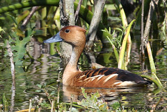 Fulvous Whistling-Duck (Dendrocygna bicolor) (Paul Hueber) Tags: bird nature animal canon duck orlando florida wildlife aves handheld orangecounty waterfowl centralflorida fulvouswhistlingduck dendrocygnabicolor canonef100400mmf4556lisusm ebird lakeapopkarestorationarea