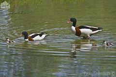 Volpoche, Tadorna tadorna, Shelducks (paolo.gislimberti) Tags: family birds famiglia ducks uccelli chicks anatre pulcini