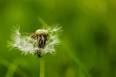 Dandelion (ianmiddleton1) Tags: nature canon spring weeds glasgow dandelion seeds tamron bellahoustonpark dandelionseedheads