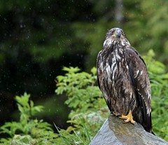 Adolescent Eagle Standing in the Rain (robblansdowne) Tags: birds eagle britishcolumbia wildlife animalkingdomelite