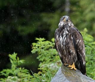 Adolescent Eagle Standing in the Rain