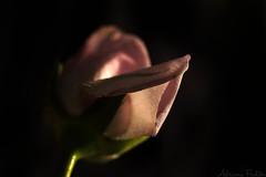 af1301_4442 web (Adriana Fchter) Tags: flowers brazil naturaleza flores flower macro nature fleur rose brasil fleurs garden botanical photography day photographie natureza flor rosa blumen natura dia valentines rosen fiori  blommor blte botanique namorados bloemen botanica rosales  rosae   botanik  macrofotografia     spp    macrophotographie  aard    makrofotografie       lhikuvaus  adrianafchter