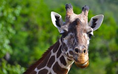 image (Eva O'Brien) Tags: california animal animals zoo nikon conservation giraffes giraffe santarosa zooanimals safariwest d3100 nikond3100 evacares evaobrien