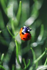 (Maria Dattola) Tags: italy copyright macro italia  reggiocalabria ladybug calabria 2014 coccinella mariadattola