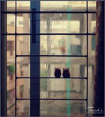Love Rain (TORICK_009) Tags: love rain couple dhaka bangladesh owls