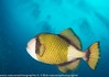 Balistoides viridescens - Baliste olivâtre - Giant triggerfish.jpg
