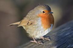 DSC_3974 - Robin (102er) Tags: uk nature animal animals fauna zoo nikon wildlife chester tamron 70300 d3100