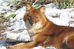 Dhle (Passion Animaux & Photos) Tags: red wild dog chien asian zoo allemagne asiatique sauvage neunkirchen dhole