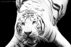 Tigre Blanc (vanessadavid1912) Tags: tigreblanc