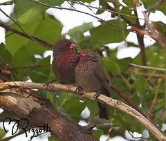 """Brown Firebird """"Courting Couple"""" (girlslens) Tags: africa firebird botswana okavangodelta vumbura brownfirebird"""