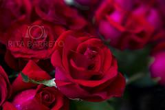 Rosas (Rita Barreto) Tags: flora natureza flor vermelho rosas florvermelha rosasvermelhas