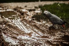 Grey (Melissa Maples) Tags: winter bird water animal turkey puddle nikon asia mud trkiye parrot antalya africangrey nikkor vr afs  18200mm  f3556g  18200mmf3556g d5100