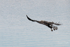 Juvenile Bald Eagle fishing sequence - 2 of 13